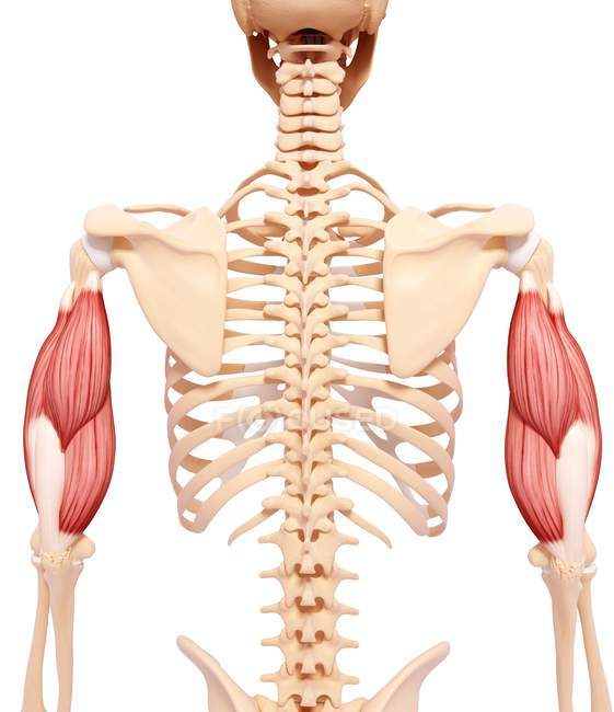 Musculatura de brazos humanos - foto de stock