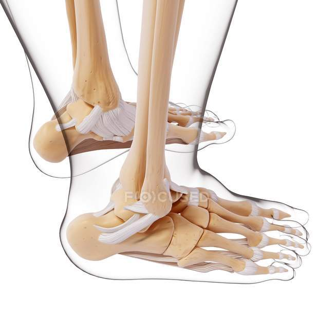 Human foot bones structural anatomy — Stock Photo | #160289760