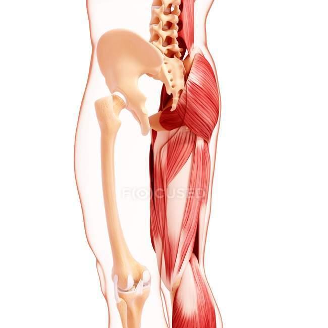 Menschliches Bein-Muskulatur — Stockfoto | #160289762
