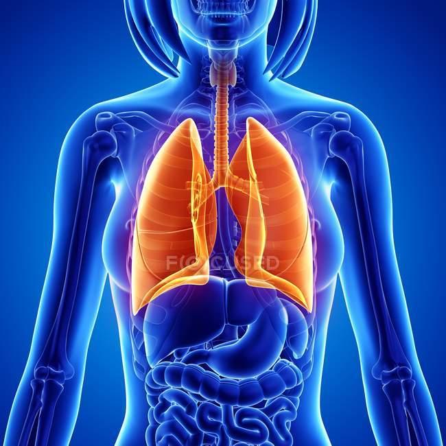 Weibliche Anatomie mit Schwerpunkt auf Lunge — Stockfoto | #160289860