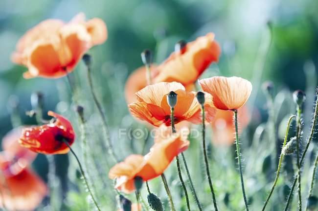 Primer plano de amapolas rojas en floración. - foto de stock
