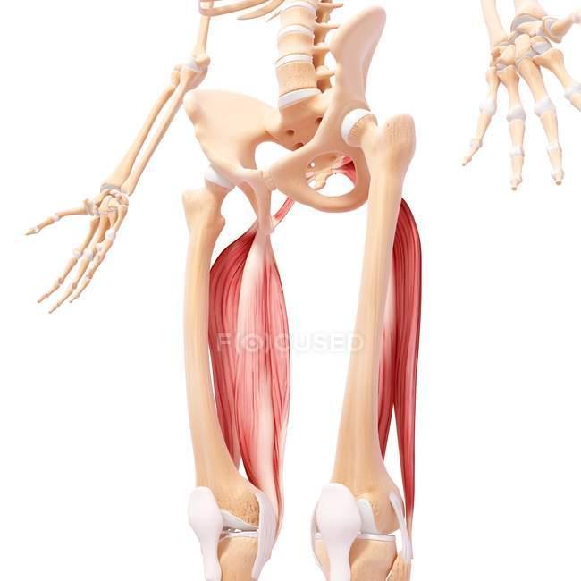 Pelvis And Hip Anatomy Stock Photo 160289984