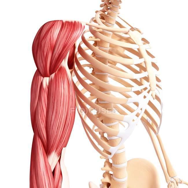 Menschlicher Arm-Muskulatur — Stockfoto | #160289992