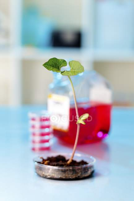 Genetically modified plant in petri dish. — Stock Photo