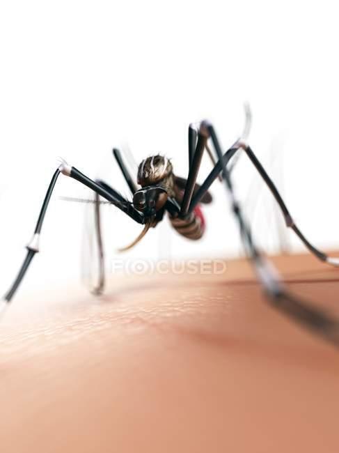 Mosquito hembra adulto - foto de stock