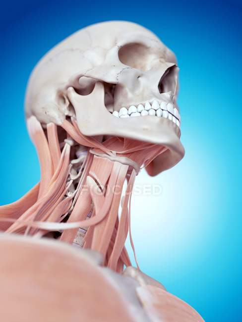 Human Skull And Neck Muscles Stock Photo 160553952