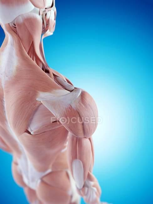 Human shoulder anatomy — Stock Photo | #160554066