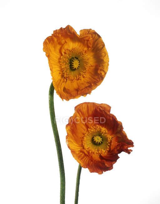 Fleurs de pavot orange sur fond blanc . — Photo de stock