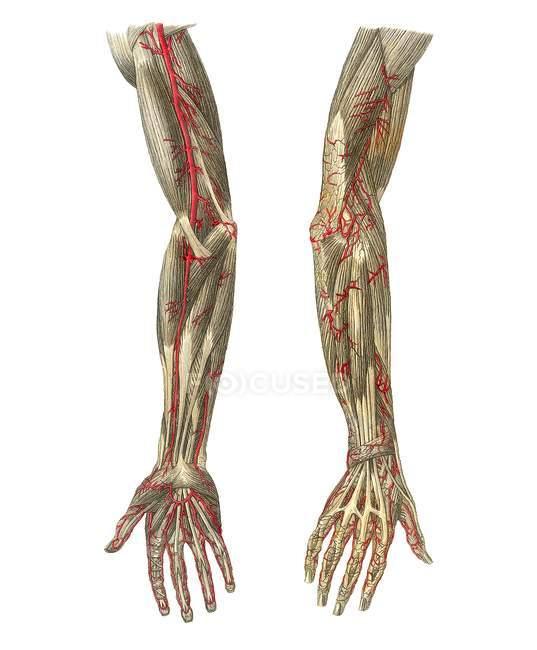Vasos sanguíneos de los brazos - foto de stock