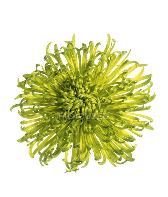 Flower of chrysanthemum plant on white background. — Stock Photo