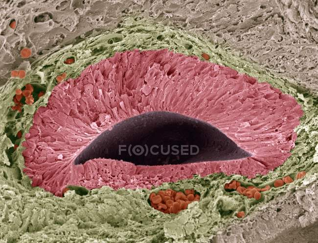 Coloured scanning electron micrograph (SEM) of a section through a foetal olfactory (smelling) sense organ known as the vomeronasal organ (VNO), or Jacobson organ. — Stock Photo
