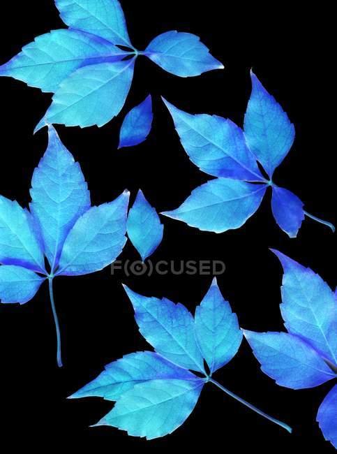 Синие листья на черном фоне . — стоковое фото