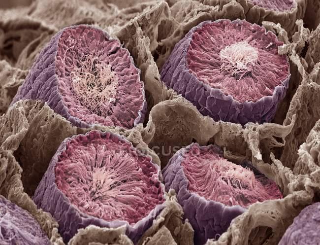 Espermatozoides en túbulos seminíferos - foto de stock
