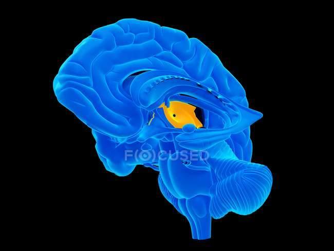 Концептуальні комп'ютер ілюстрація того, людський мозок структура відбирається поперечний переріз — стокове фото