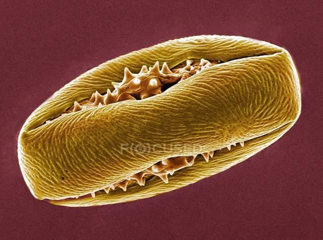 Grano de polen de castaño de Indias - foto de stock