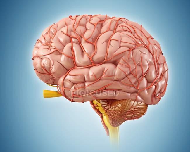 Anatomía del cerebro humano - foto de stock