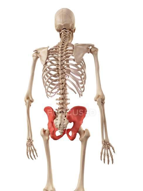Estructura de huesos humanos de cadera - foto de stock