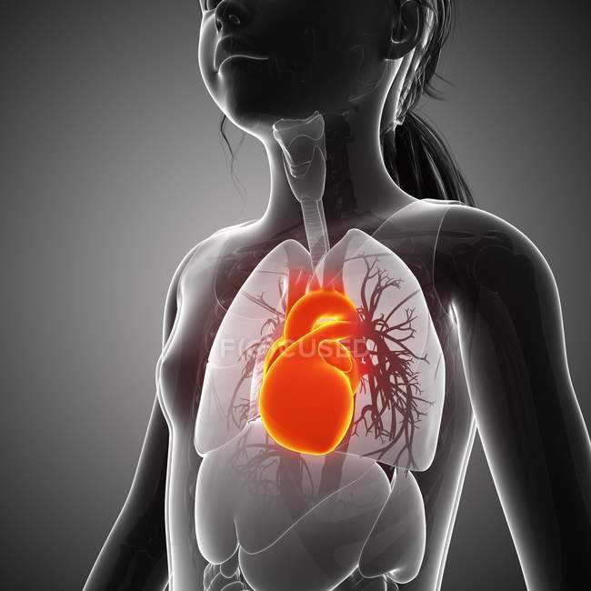 Human heart position and structure — Stock Photo