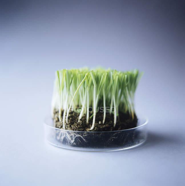 Genetically modified grass in petri dish. — Stock Photo