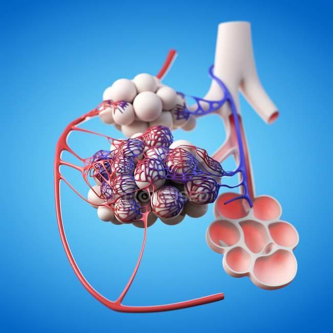 Anatomia umana alveoli — Foto stock