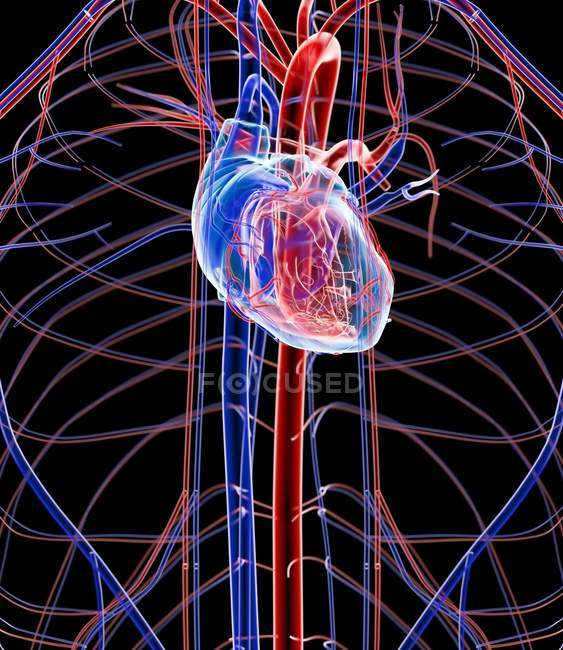 Анатомия сердца человека — стоковое фото