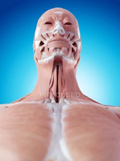 Menschliches Gesicht-Nacken-Muskulatur — Stockfoto   #160556898