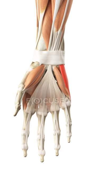 Menschliche Handmuskeln — Stockfoto | #160557080