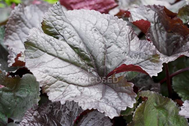 Крупным планом зрения Бузульник зубчатый листья — стоковое фото