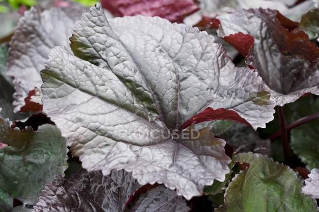 Close-up view of Ligularia dentata leaves. — Stock Photo