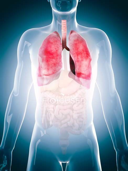 Human lungs and other internal organs — Stock Photo