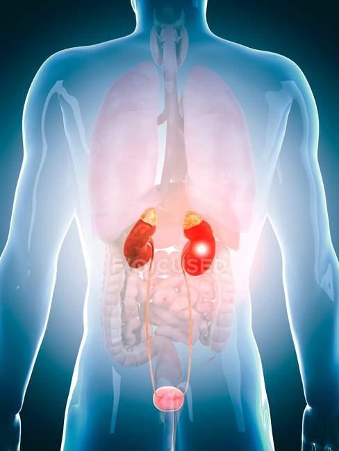 Sistema urinário humano, ilustração conceitual do computador . — Fotografia de Stock