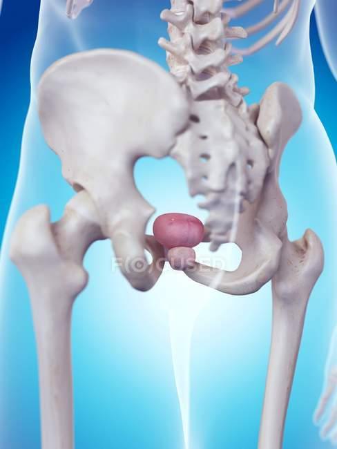 Male prostate anatomy — Stock Photo | #160557698