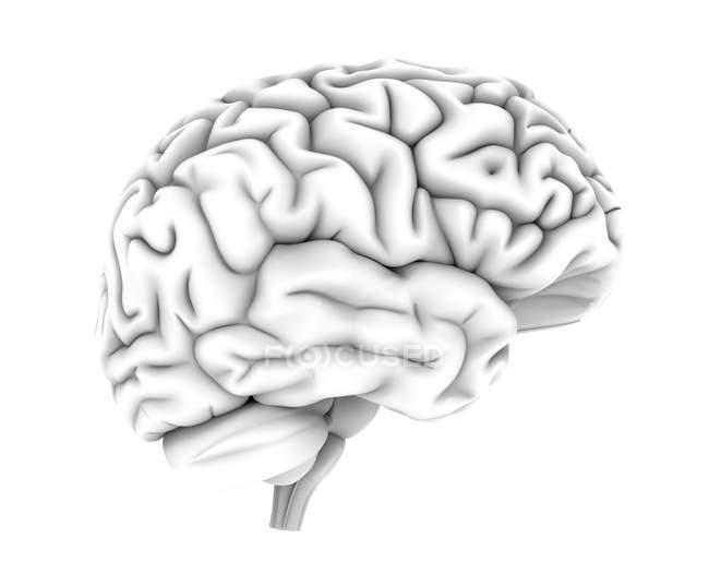 Estructura cerebral humana - foto de stock