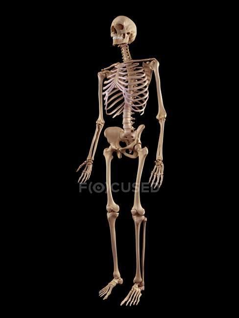 Menschliches Skelett-Struktur — Stockfoto | #160558252