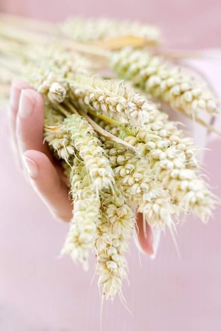 Mão de pessoa segurando espigas de trigo. — Fotografia de Stock