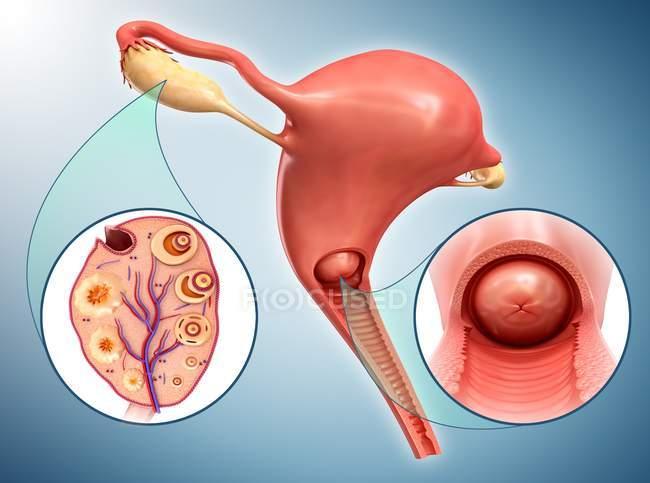 Женская репродуктивная система — стоковое фото