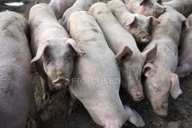 Cerdos domésticos en tierra seca en la granja . - foto de stock
