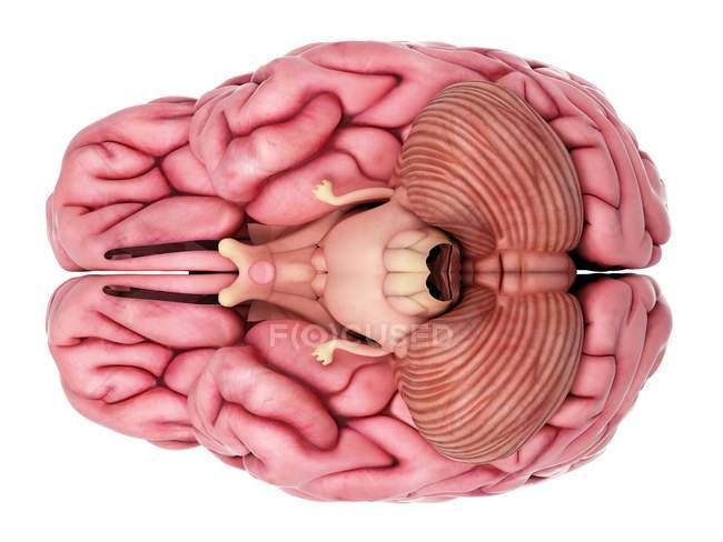 Internal brain anatomy — Stock Photo