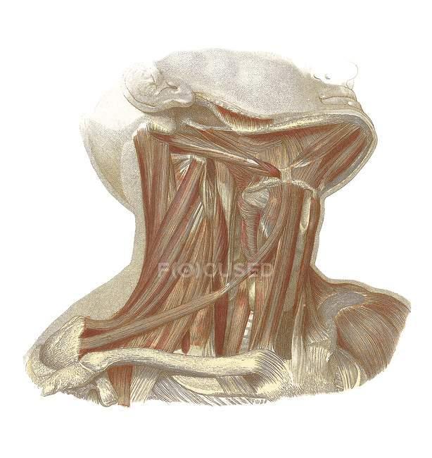 Structure anatomique humaine — Photo de stock