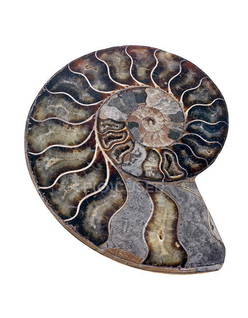 Polished sectioned ammonite fossil on white background. — Foto stock