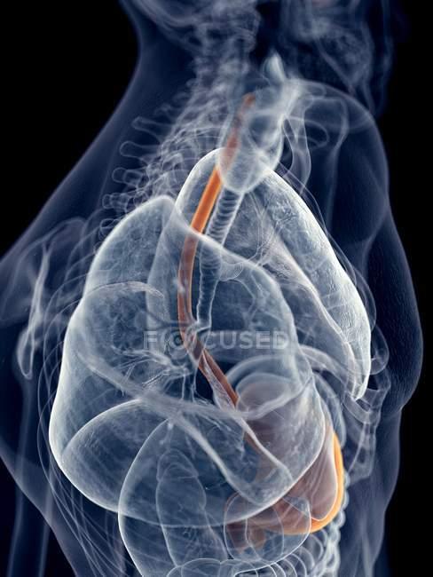 Esófago humano y estómago - foto de stock