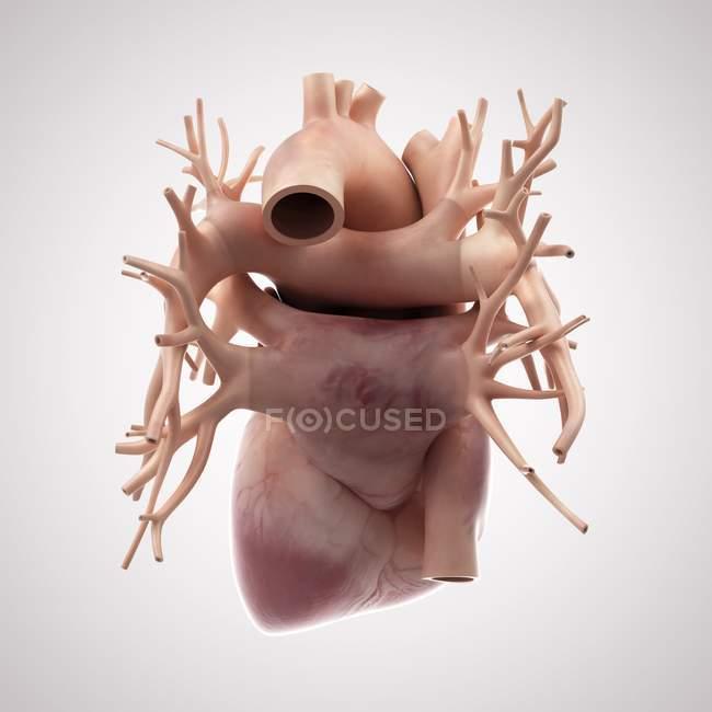 Здоровое сердце человека — стоковое фото