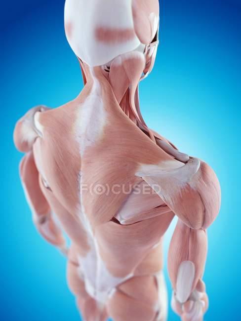 Anatomie der menschlichen Schulter — Stockfoto | #160559418