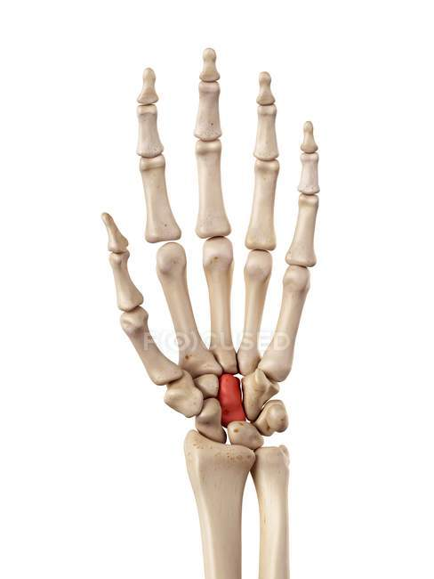 Human Hand Bones Anatomy Stock Photo 160559480