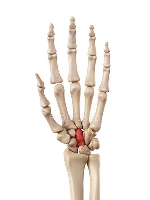 handknochen anatomie