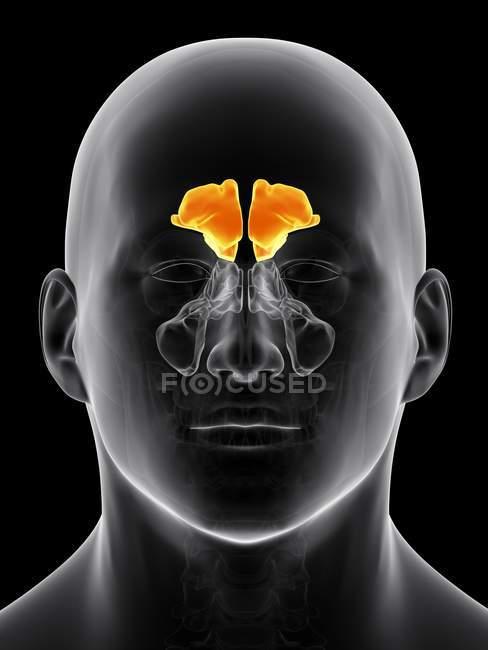Cavità sinusali umane — Foto stock