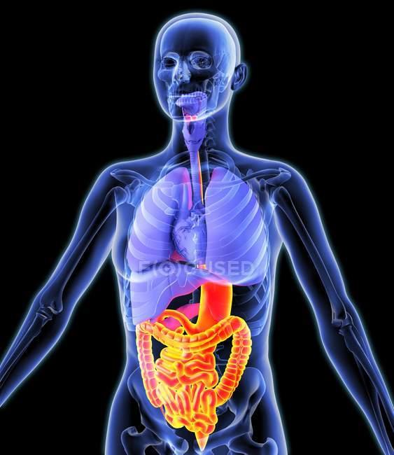 Tracto digestivo y órganos internos - foto de stock
