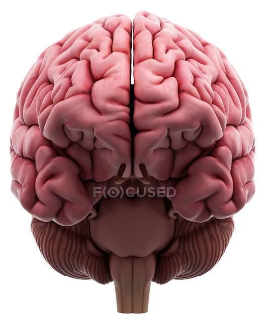 Внутренней мозга анатомии — стоковое фото