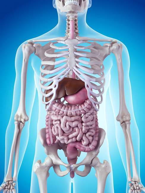 Картинка человеческого скелета и органов