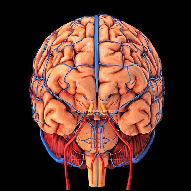 Brain's blood supply — Stock Photo